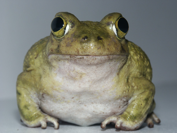 Frank The Couch S Spadefoot