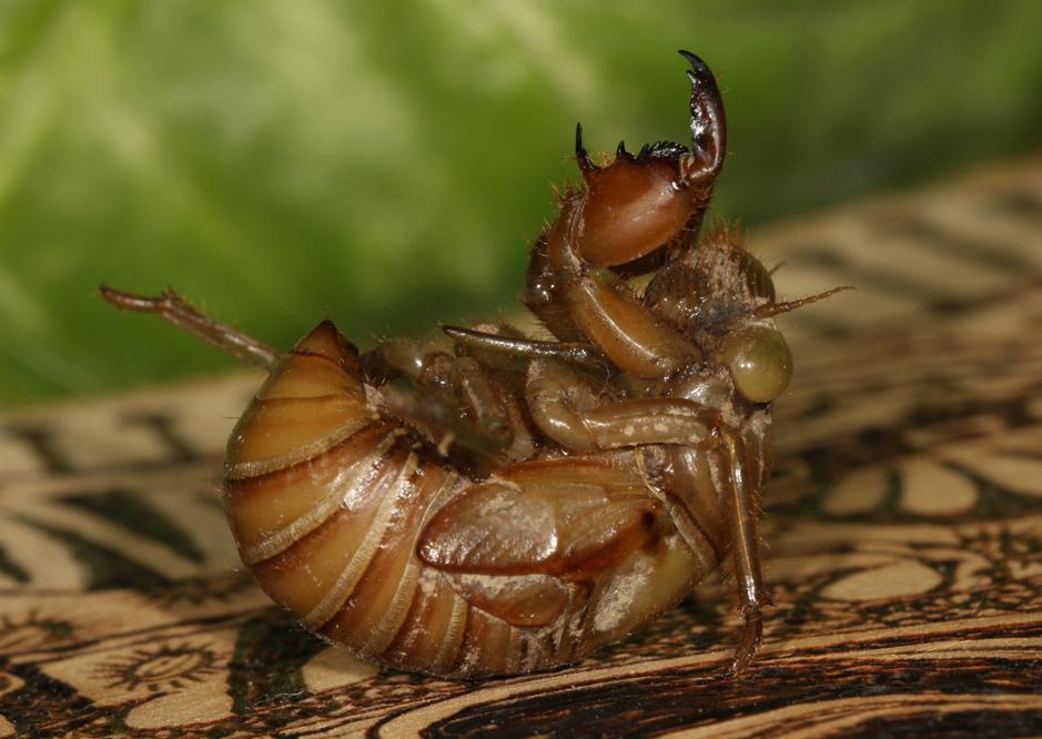 cicada nymph - photo #44
