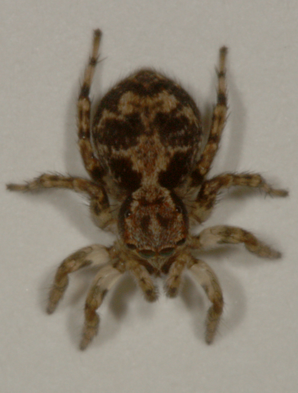 Miscellaneous Jumping Spider Photography By Kozmic Dreams