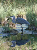 blue heron curved neck reflection cropped.jpg (144005 bytes)