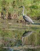 blue heron vertical reflection good focus cropped.jpg (134521 bytes)