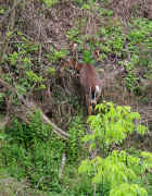 deer foraging 1 cropped.jpg (163581 bytes)