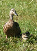 duck with ducklings 1 cropped.jpg (141347 bytes)