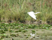 egret flying wings down 2 cropped.jpg (126119 bytes)