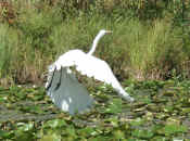 egret flying wings down.jpg (108667 bytes)