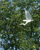 egret flying wings up cropped.jpg (130581 bytes)