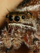 jumping spider 8-9-06 front view slightly tilted.jpg (141519 bytes)