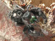 jumping spider on stump in sunlight.jpg (141523 bytes)