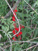 red flowers.jpg (156262 bytes)
