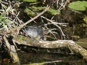 turtle facing right.jpg (117527 bytes)