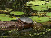 turtle pair one in water.jpg (155244 bytes)